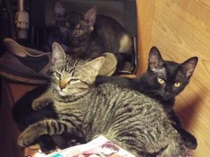 もうだいぶ大きくなってきた子猫たち。いちばん奥のは、超レア猫しんちゃん。